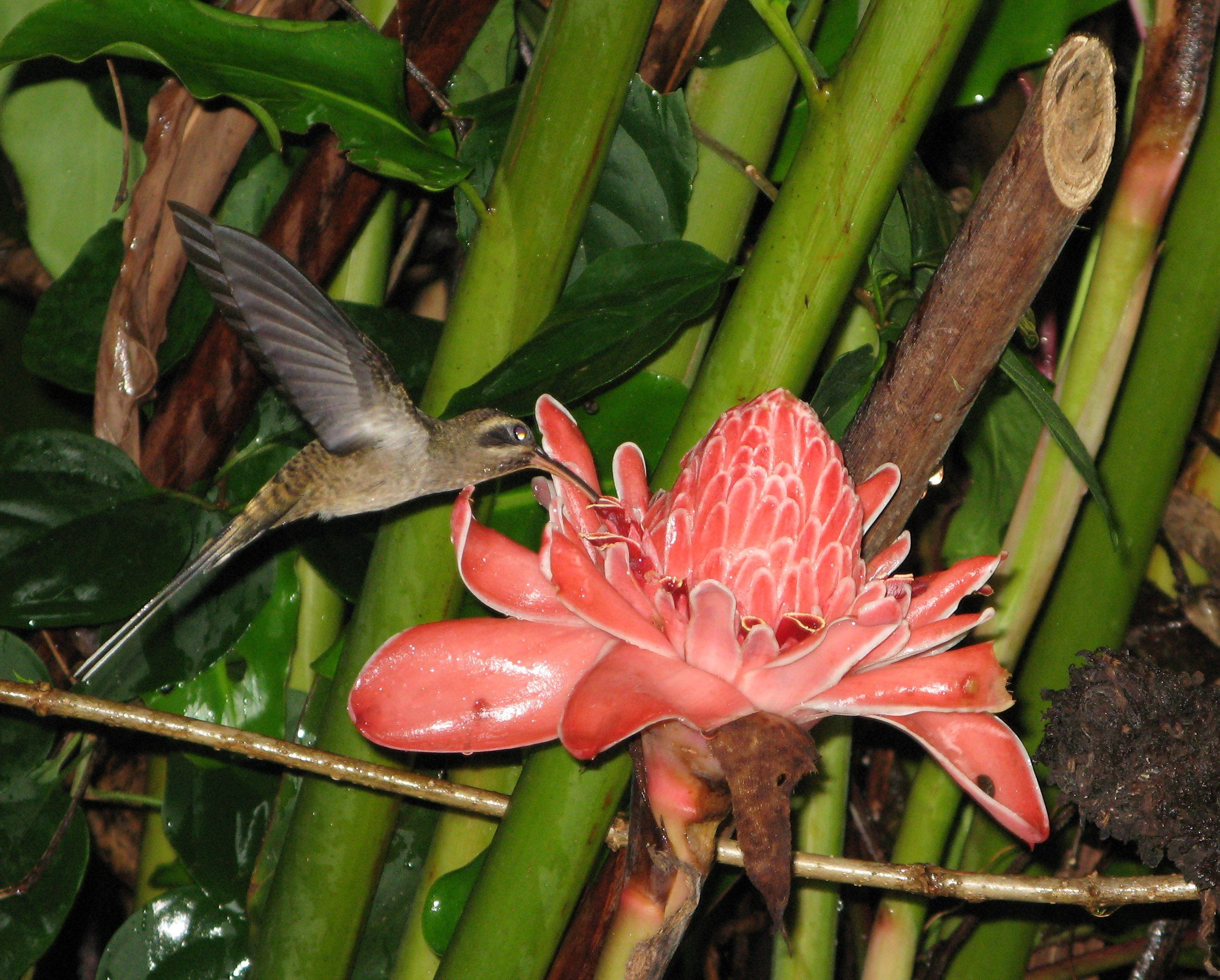 Long Billed Hermit