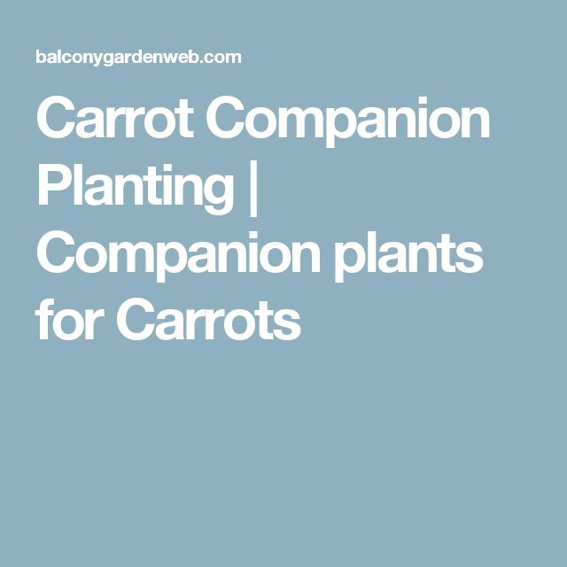 Carrot Companion Planting Companion Planting Carrot 400 x 300