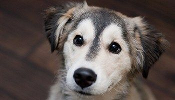 Golden Retriever Husky Mix Meet The Beloved Goberian
