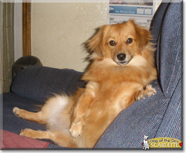 Scarlette The Dachshund Pomeranian Mix Dachshund Mix Dachshund