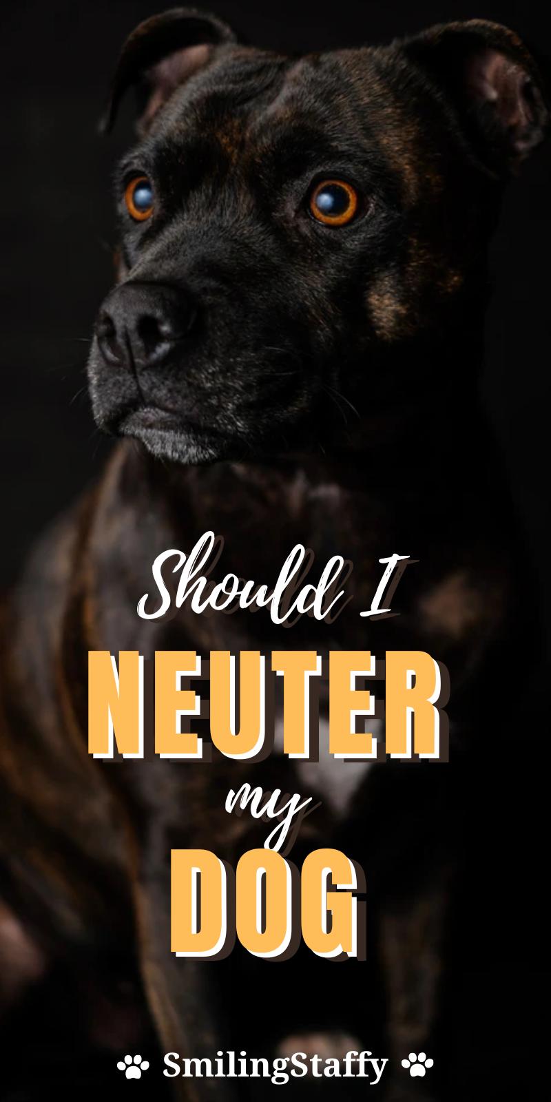 Should I Neuter my Staffy?