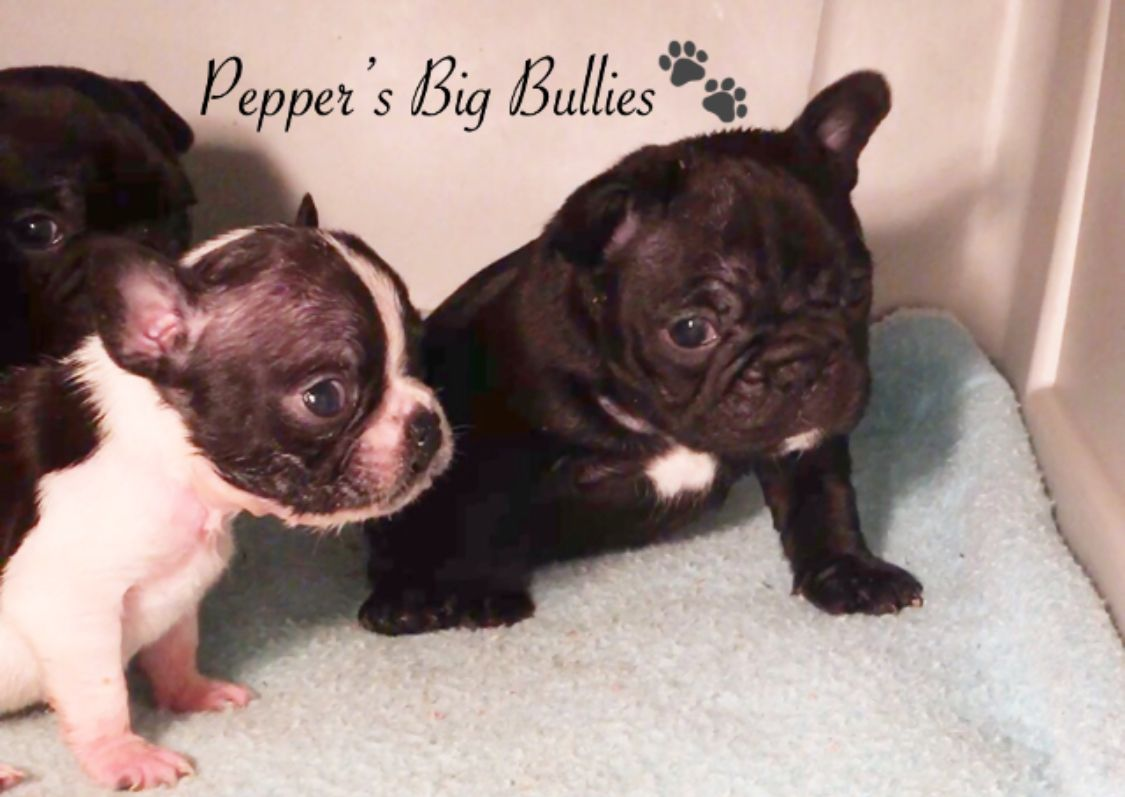 French Bulldog Puppies Bulldog Puppies French Bulldog