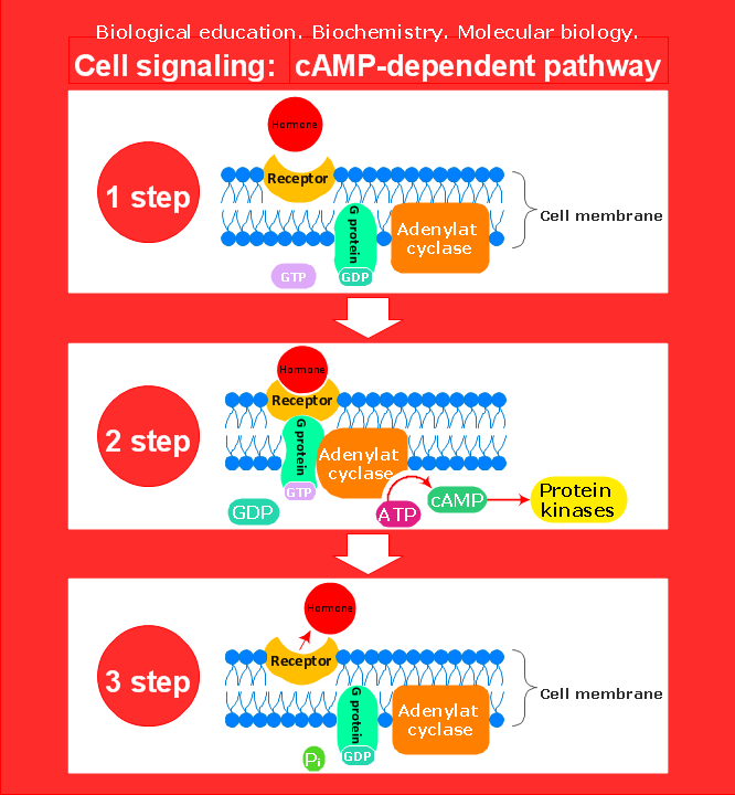 Biochemical diagram sample cell signaling camp dependent pathway the scientific and educational diagrams and vector drawings on biology and biochemistry are drawn using conceptdraw pro diagramming and vector drawing ccuart Images