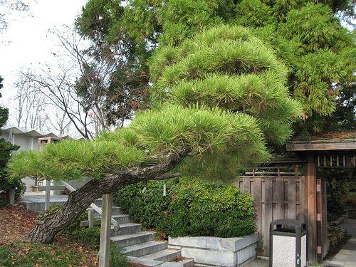 Pinus Contorta Japanische Gartenpflanzen Asia Garten Japanischer Garten