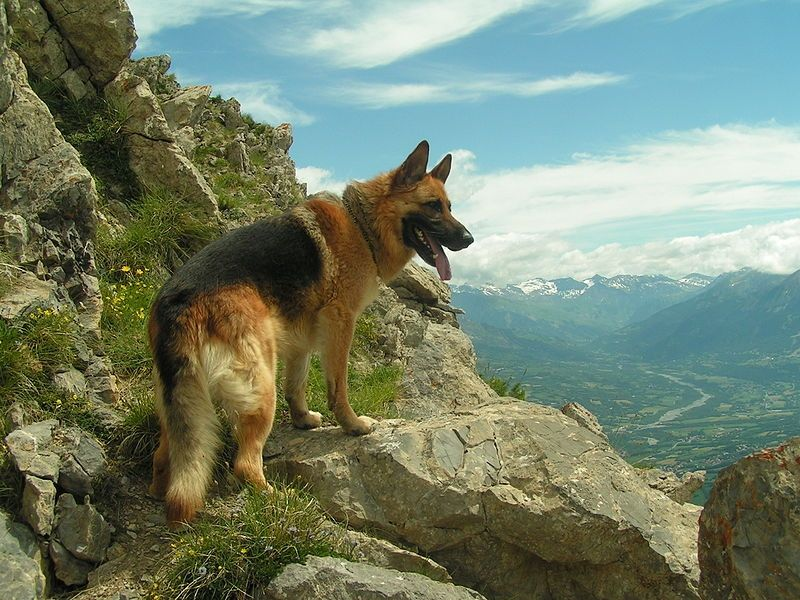 German Shepherd on Mountain