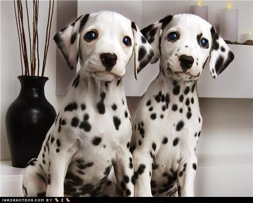 Double Trouble Dalmation Puppy Dalmatian Puppy Cute Animals