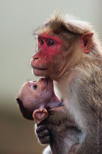 Mother and Child Bonnet Macaques. Image: Sudhir Shivaram/Sanctuary Awards 2008.