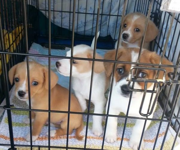 Adopt Chloe Adopted On Cute Dogs Puppies Corgi Dog Cute Dogs