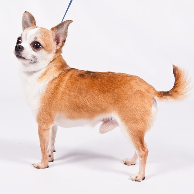 Chihuahua Dog Breed Information Dog Breeds Chihuahua Chihuahua