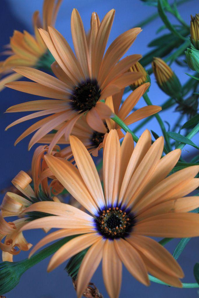 ✯ Springy Orange African Daisy