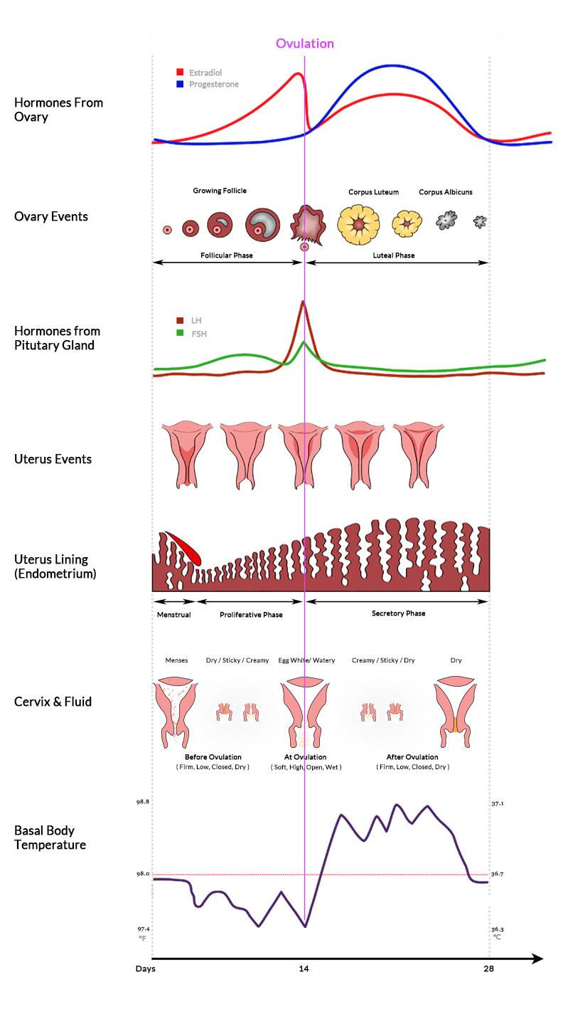 3-D Printed Ovaries to Restore Fertility - FertilityTips.com