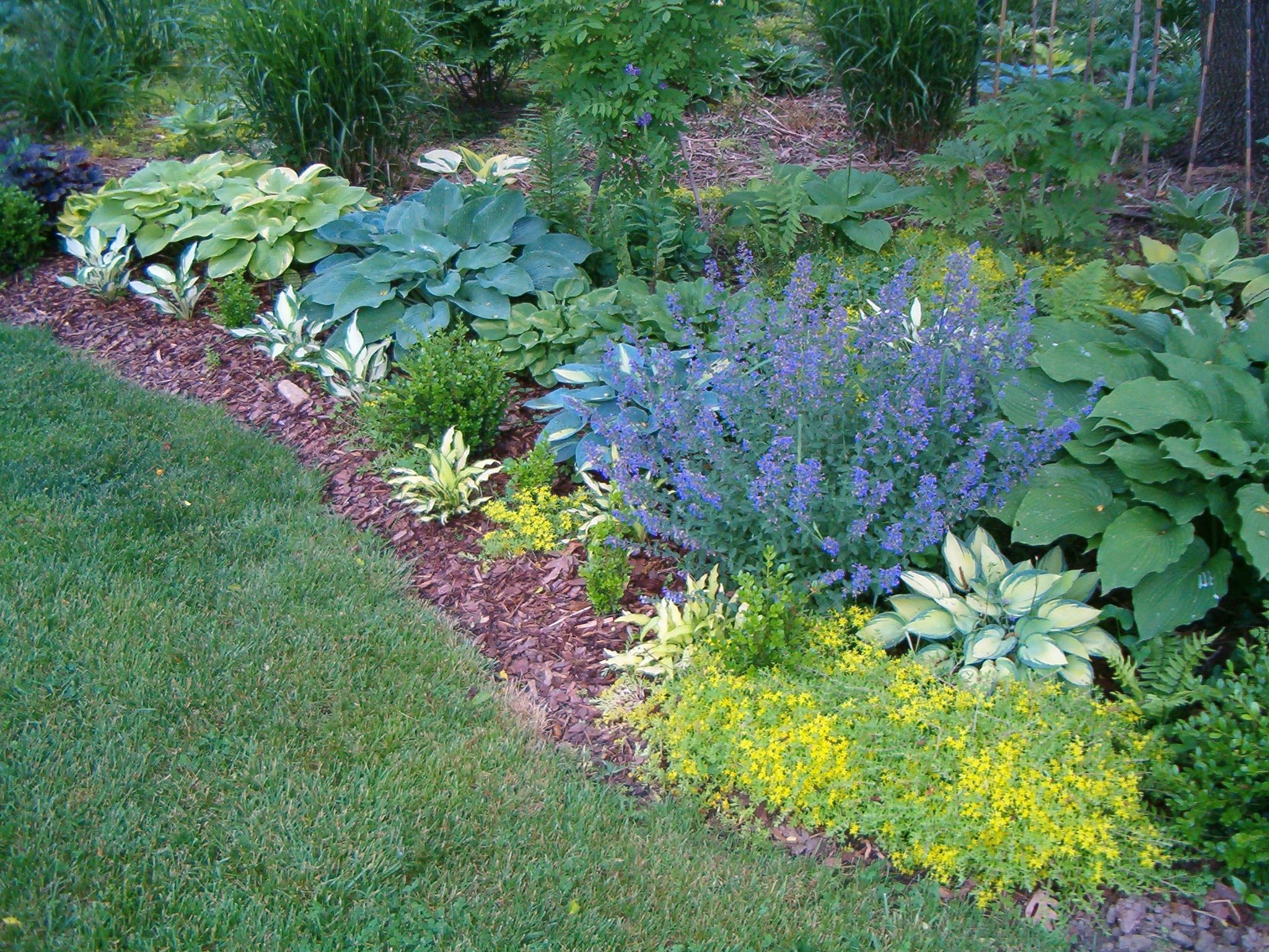 Hostas And Lavender Btwn Driveway And Stepping Stone Street Path