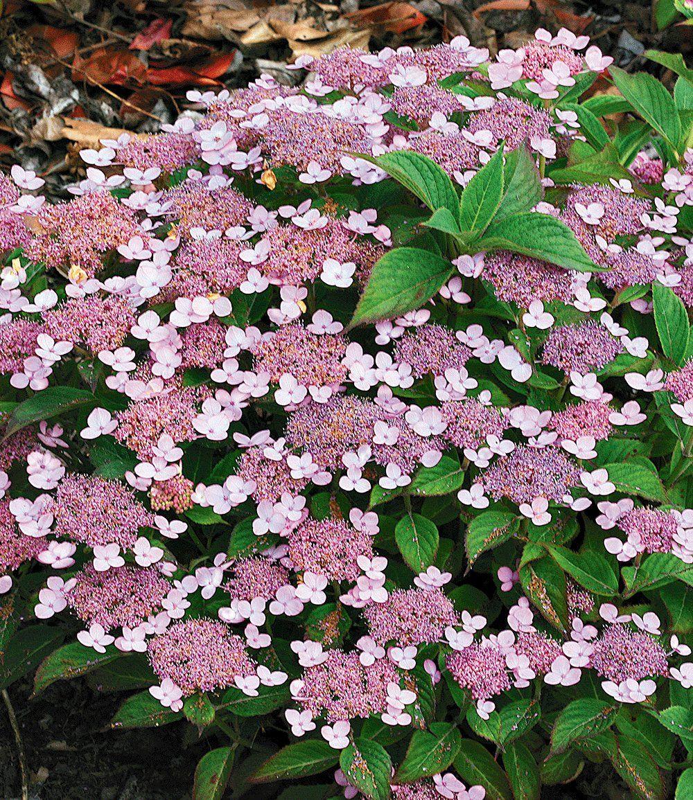 schmetterlingshortensie 'butterfly'® - container   hortensien, Gartengerate ideen