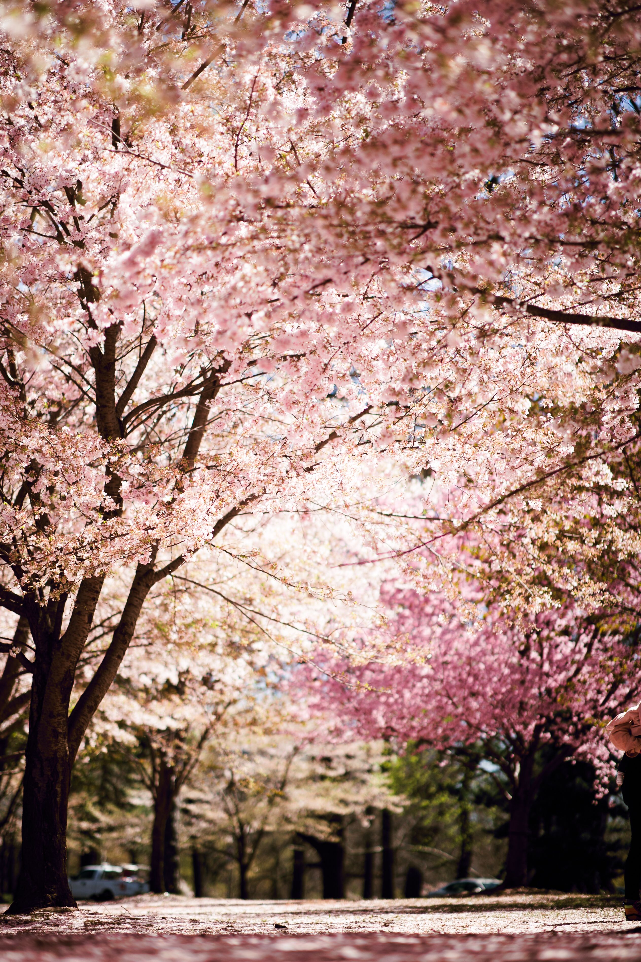 Pin by Sonia Montoya on Cherry Blossoms | Summer wallpaper ...