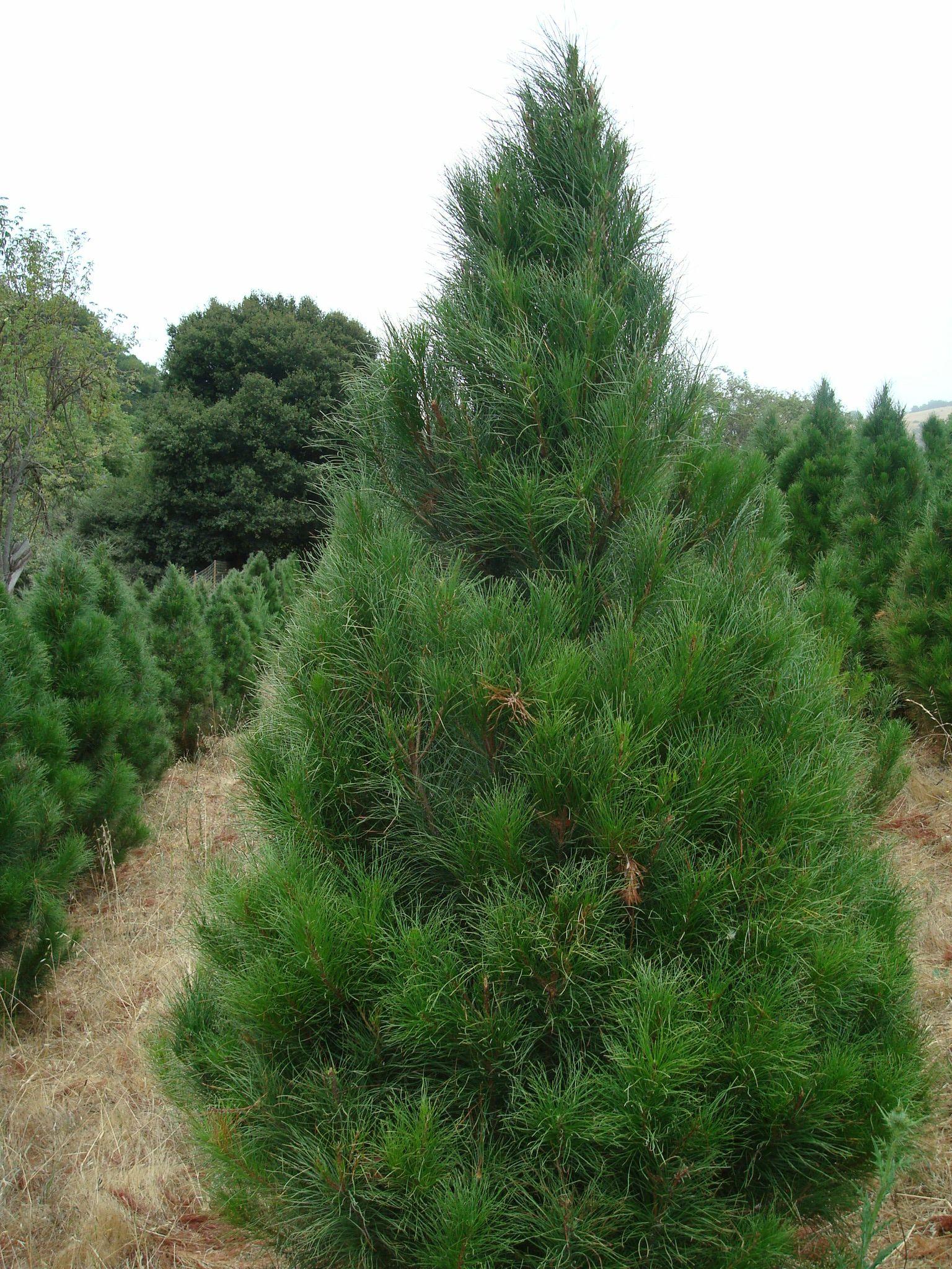 Sierra Redwood Tree Is A Fleecy Looking Tree With A