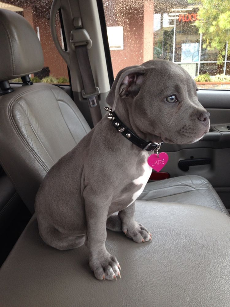 Pin by Maria Peralta on Animals Pitbull puppies, Cute