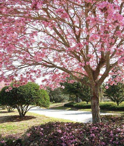 Pink Trumpet Tree Em Tabebuia Impetiginosa Em Photo By Tricia Flickr Flowering Trees Garden Design Landscaping Trees
