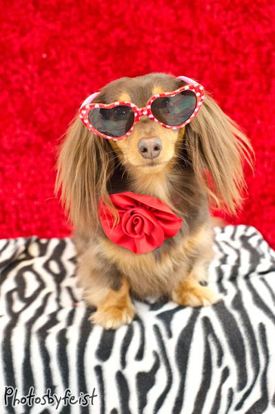 Longhaired Valentines Day Dachshund Puppy Dog Dogs Puppies