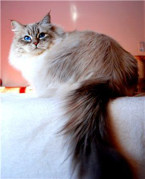 Pin By Norma Owens On Purr Fect Siberian Cat Cats Pretty Cats