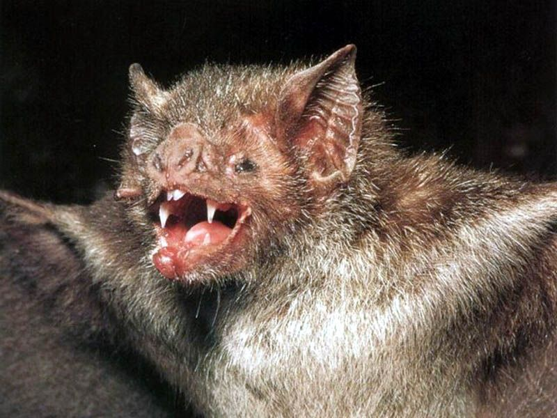 Google Image Result For Http Wallpaper Searchrealm Com Birds Bat Vampire Bat Jpg Scary Vampire Animals Animals Beautiful