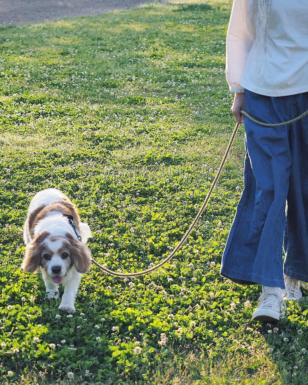 Rieさんはinstagramを利用しています 今日も1日お疲れ様でした 明日も良い日でありますように 5月5日 夕んぽ マロン キャバリア キャバリア部 ブレンハイム お散歩 犬バカ部 ファインダー越しのわたしの世界 Cavalier Cav Dogs Animals My Boys