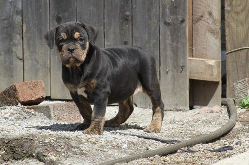 Litter Of 6 Olde English Bulldogge Puppies For Sale In Akron Oh