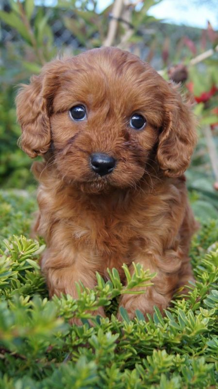 Breeds Puppies Cavapoo Puppies Cute Animals Kissing