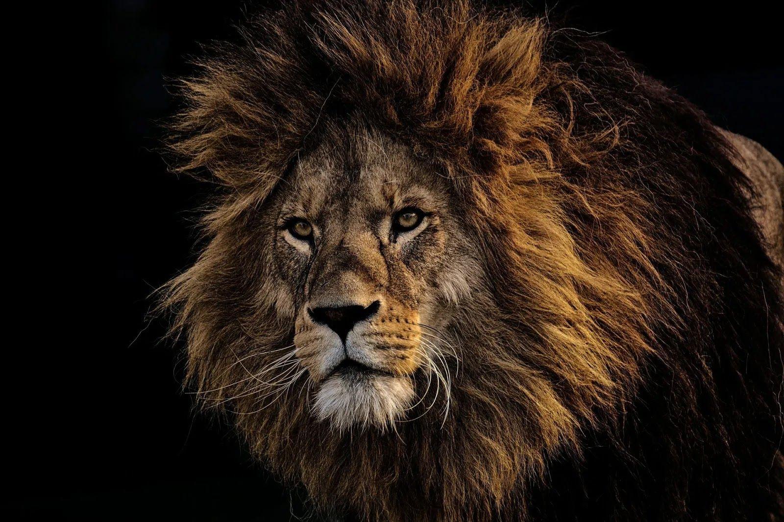 صور لحيوان الأسد المفترس Hd Big Cats Animals Lion Pictures