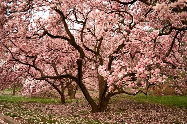 Growing Magnolia Trees Japanese Magnolia Tree Japanese