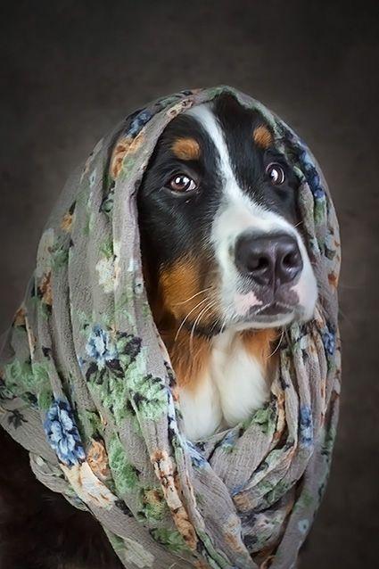 Pin Von Sue Olson Auf Bernese Mountain Dogs In 2020 Bernasennen