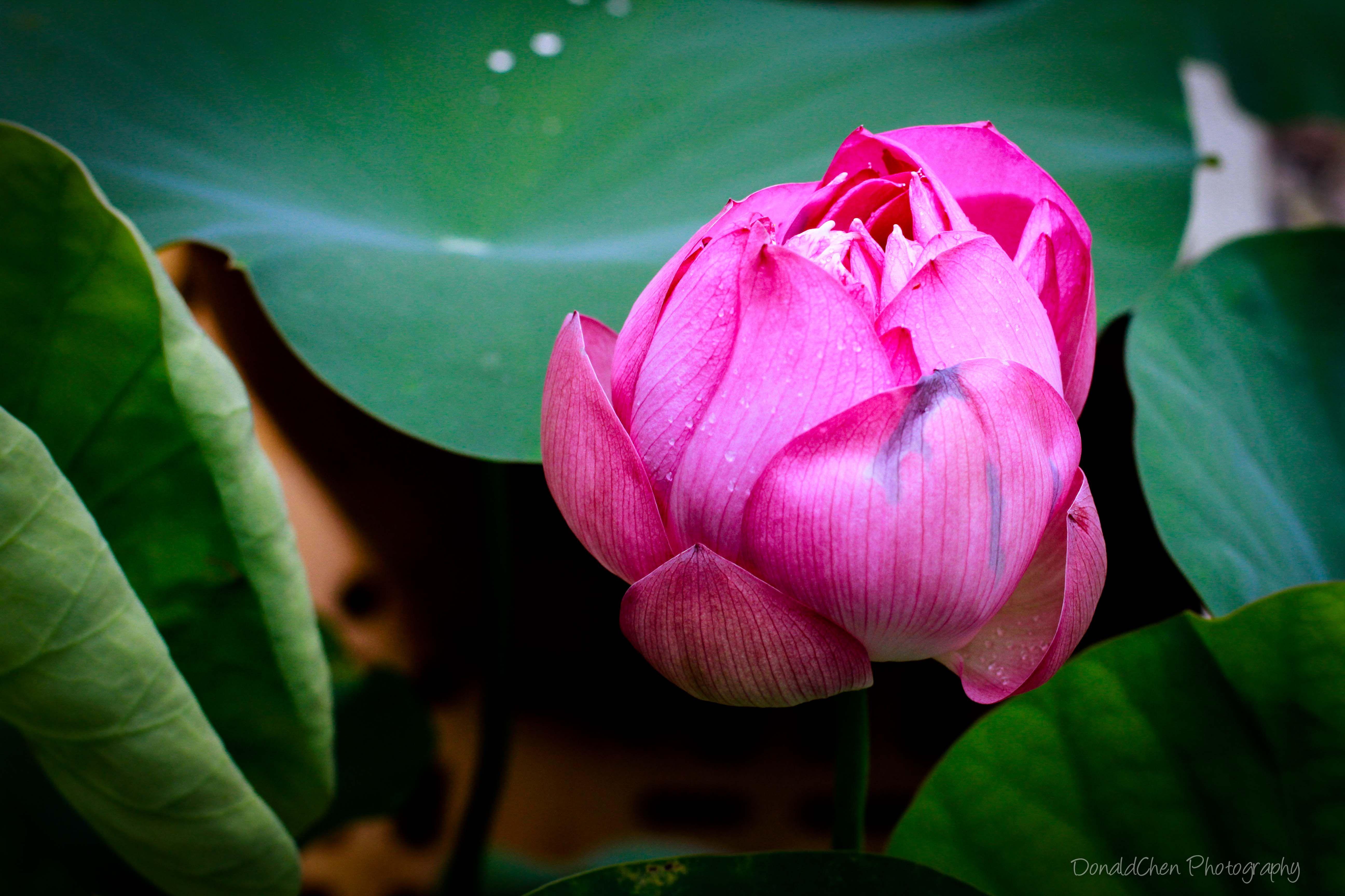 Lotus singapore flower its botanical name is nelumbo nucifera flower lotus singapore flower its botanical name izmirmasajfo Choice Image