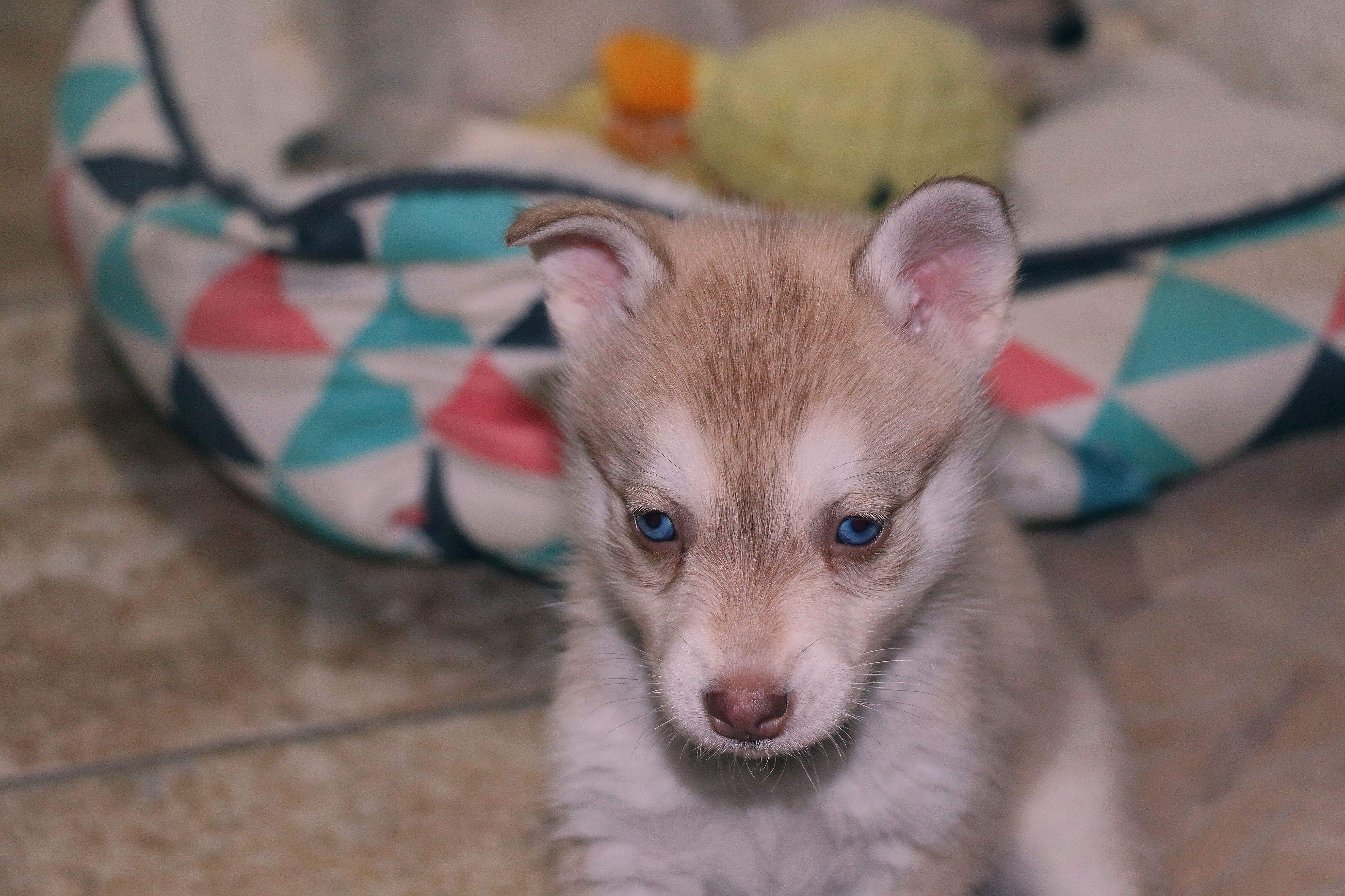 Red and white Alaskan Klee Kai  #miniaturehusky Miniature husky colors #miniaturehusky Red and white Alaskan Klee Kai  #miniaturehusky Miniature husky colors #miniaturehusky Red and white Alaskan Klee Kai  #miniaturehusky Miniature husky colors #miniaturehusky Red and white Alaskan Klee Kai  #miniaturehusky Miniature husky colors #miniaturehusky