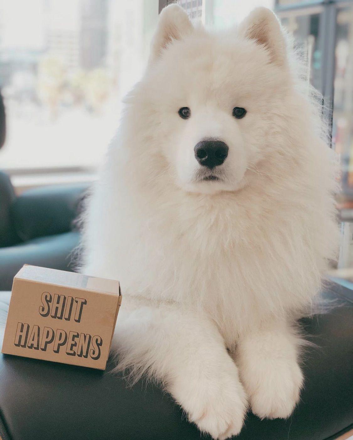 @mickey_flufferton being super fluffy & cute ❤️#poopbags #dogpoopbags #dogsupplies #funny #funnydogs #shithappens #frenchie #frenchbulldog #cutedog #dogsofpinterest #fluffydog #whitedog #samoyed #samoyeddog