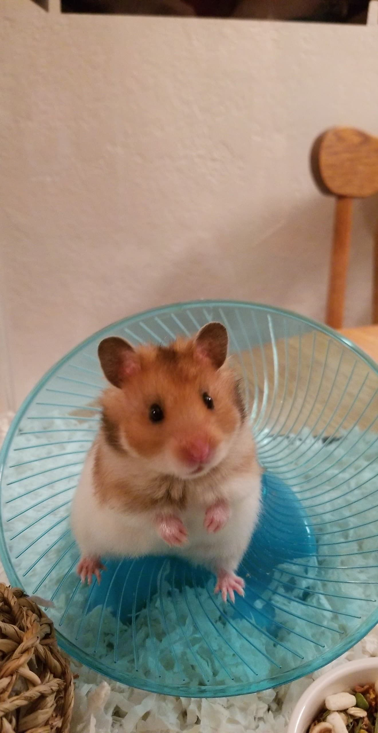 Meet Our Newest Addition To Our Fam Baby Daisy We Now Have 4 Hams I Love Them All Equally I Am Getting Her A New Wheel T Cute Hamsters Hamster Life Hamster