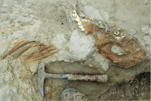 In Images: A Baby Dinosaur Unearthed | LiveScience ~ The skeleton was mostly intact, with just the front limbs missing. Because of its excellent preservation, the team believes the toddler dino drowned in a stream and was quickly buried in sediments, where it remained undisturbed for millions of years.