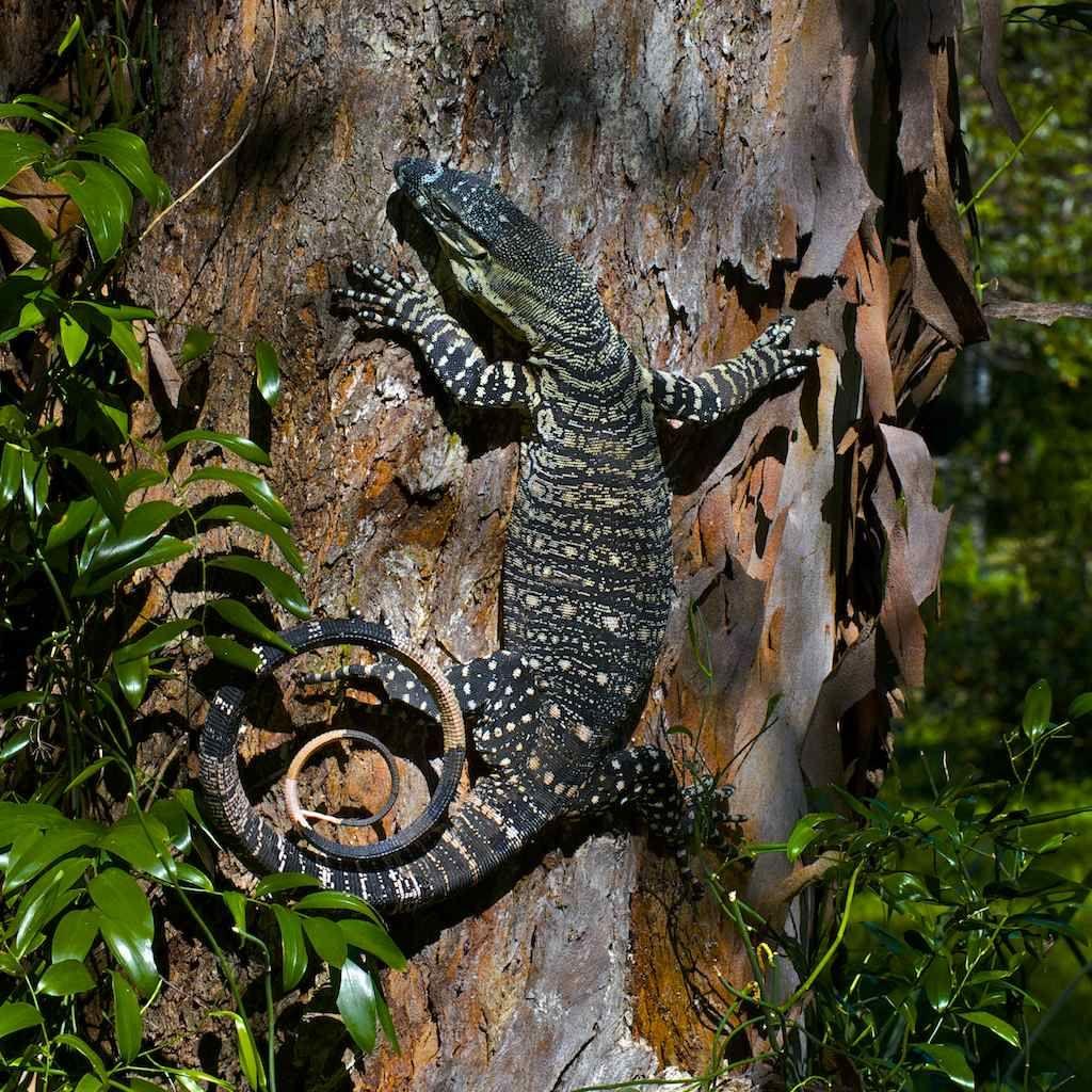 Goanna up a gum tree Australian wildlife, Crocodile