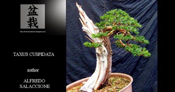 Evoluzione Bonsai    : ALFREDO SALACCIONE - BONSAI DI TASSO - TAXUS CUSPI...