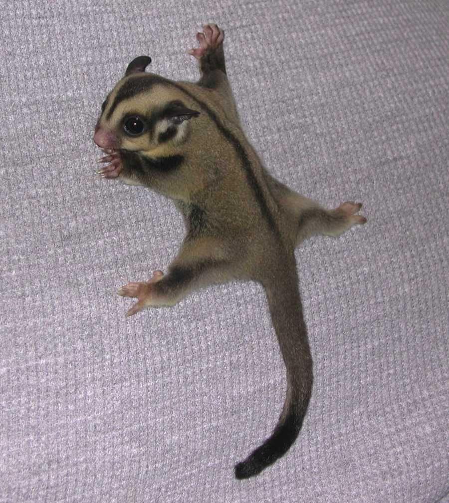 Sugar Glider aka pocket pet who wants one :) | Too cute ...