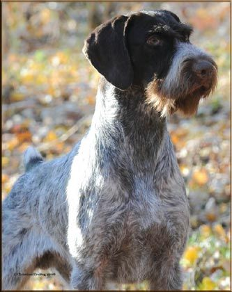 German Wire Haired Pointer Gch Ch Ripsnorter S Mt View Lookout Every Dog Breed Dog Meet Dog Breeds