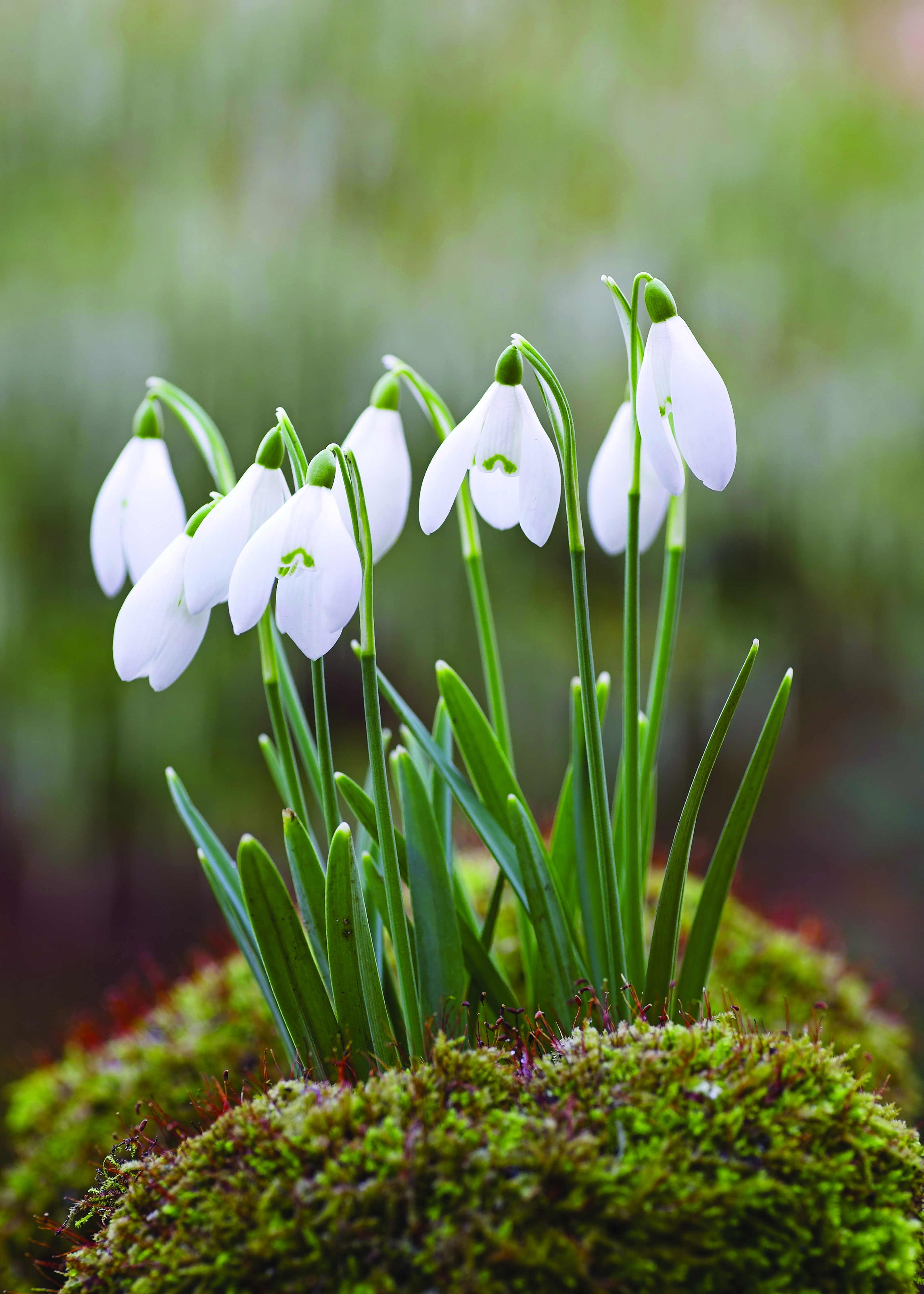 Galanthus Nivalis Snowdrops Available Online At Barlow S Sea Girt Nj Snow Drops Flowers Plants Spring Flowers