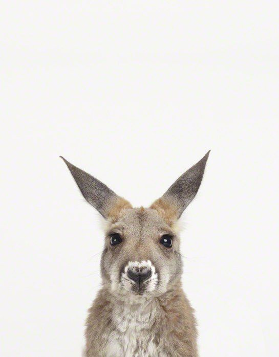 Pin By Dreamdriver On Australia Baby Animal Nursery Baby Animal Nursery Art Baby Animal Prints