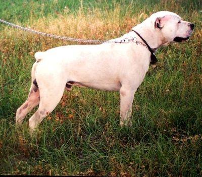 White English Bulldog Information And Pictures White English