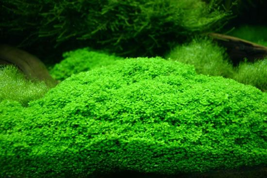 Dwarf Hairgrass On 3 X 5 Mat Foreground Carpet Aquarium Plant Live Aquarium Plants Planted Aquarium Aquarium