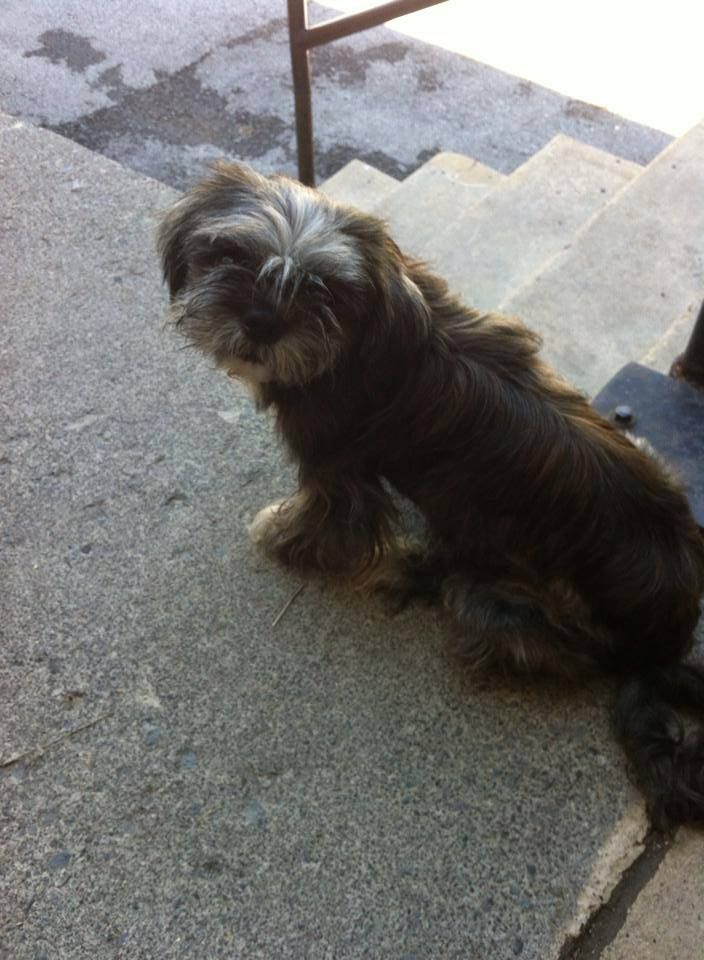 Rescued Bryson Appears To Be An Adult Neutered Male Shih Tzu He Is In Need Of Rescue Or Adoption From The