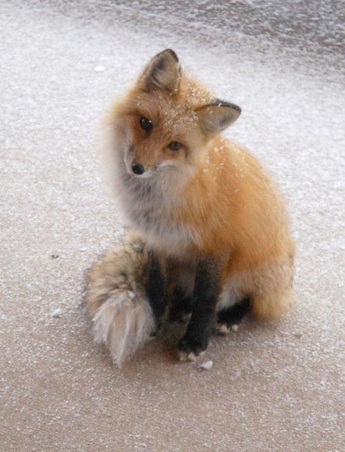 sweet little fox...looks like he's about to get into some trouble...