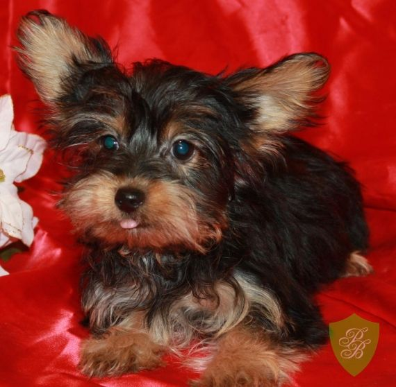 Puppies For Sale Colorado Yorkie Breeders Yorkshire Terrier