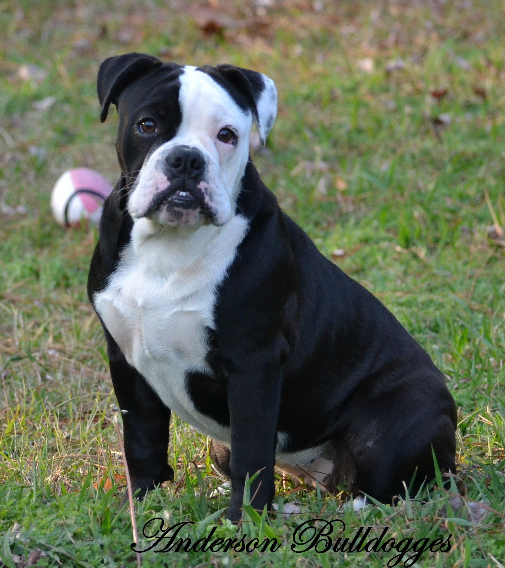 Black Velvet Olde English Bulldogge Olde English Bulldogge Old