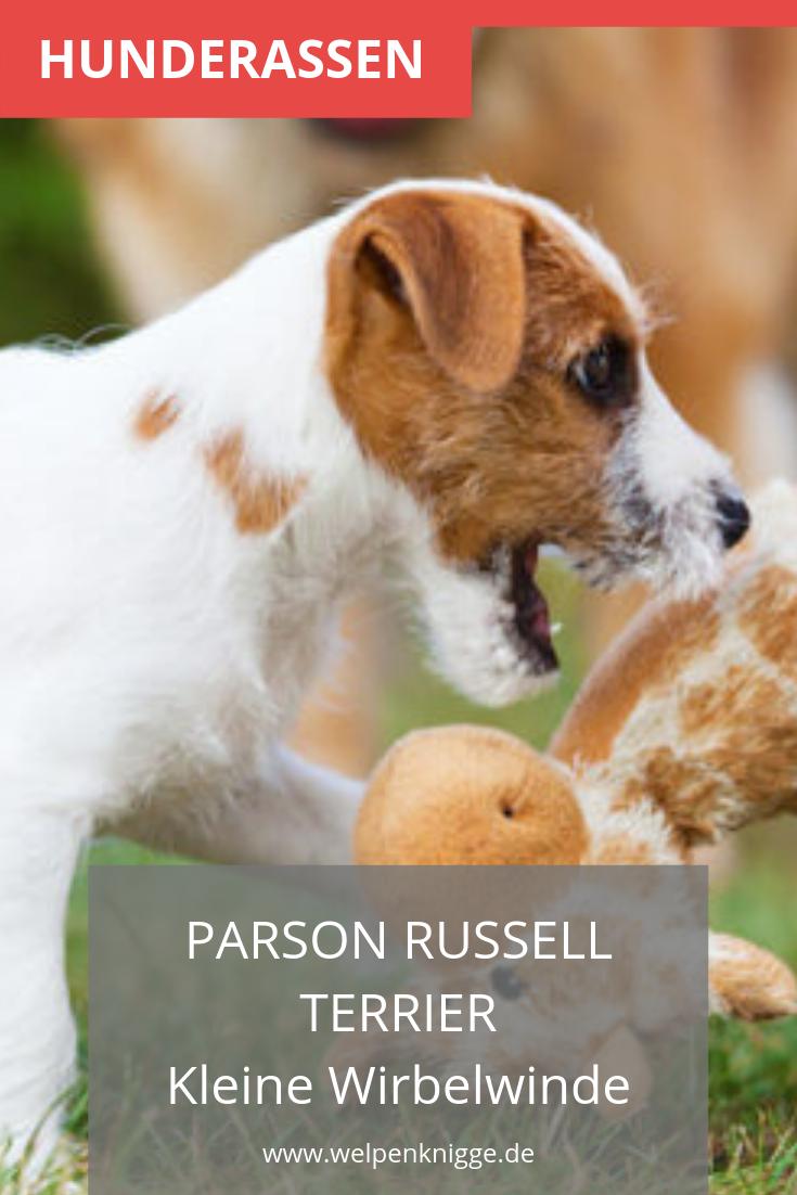 Parson Russell Terrier Welpen Parson Russell Terrier Terrier