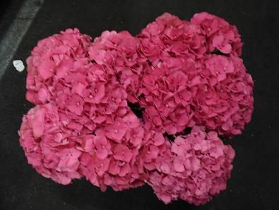 Hydrangea Dark Pink Hot Dutch