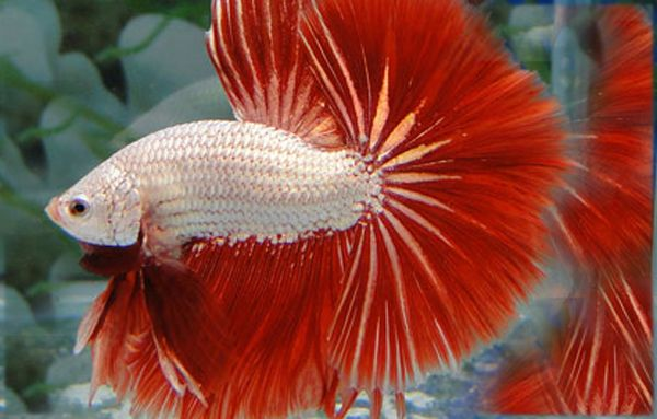 Crazy world rare fish costs as much as a car amazing for How much are betta fish